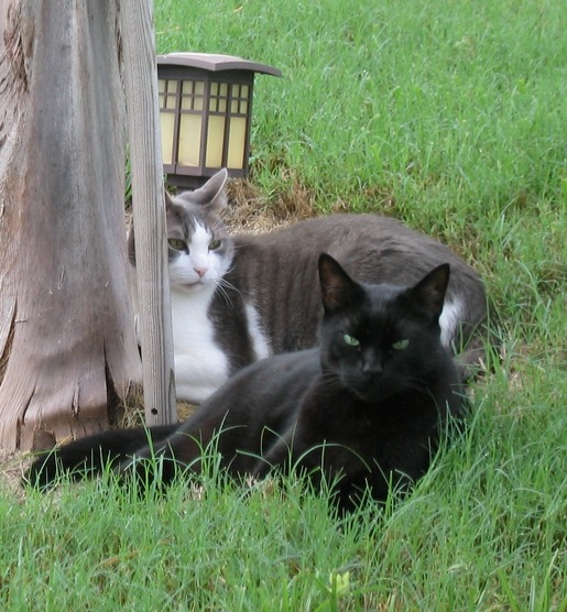 Color photo of Nigel the black cat, lying in the grass with his best cat friend, Oscar.